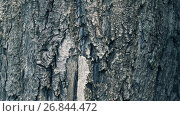 Купить «Texture of bark. Tree or poplar in park. Background of tree bark», видеоролик № 26844472, снято 28 августа 2017 г. (c) Happy Letters / Фотобанк Лори