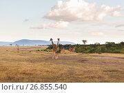 Купить «group of giraffes in savannah at africa», фото № 26855540, снято 18 февраля 2017 г. (c) Syda Productions / Фотобанк Лори