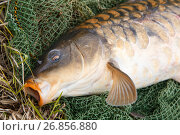 Fishing, carp fish in a network in nature. Стоковое фото, фотограф Алексей Спирин / Фотобанк Лори