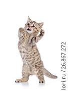 Купить «fluffy gray cat kitten, breed scottish straight, playing over white background», фото № 26867272, снято 21 августа 2017 г. (c) Оксана Кузьмина / Фотобанк Лори