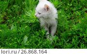 Купить «White kitten shivering from cold in grass», видеоролик № 26868164, снято 9 июня 2017 г. (c) Володина Ольга / Фотобанк Лори