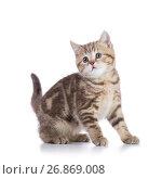 Купить «Cute scottish shorthair kitten cat isolated», фото № 26869008, снято 16 августа 2017 г. (c) Оксана Кузьмина / Фотобанк Лори