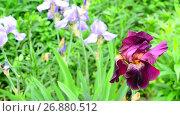 Купить «Pink iris on flower bed closeup», видеоролик № 26880512, снято 7 июня 2017 г. (c) Володина Ольга / Фотобанк Лори