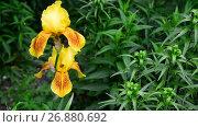 Купить «Yellow iris on flower bed closeup», видеоролик № 26880692, снято 7 июня 2017 г. (c) Володина Ольга / Фотобанк Лори