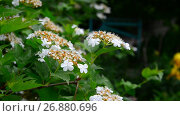 Купить «Kalina begins to bloom in early spring», видеоролик № 26880696, снято 7 июня 2017 г. (c) Володина Ольга / Фотобанк Лори
