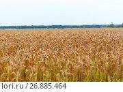 Купить «cereal field with spikelets of ripe rye or wheat», фото № 26885464, снято 27 августа 2015 г. (c) Syda Productions / Фотобанк Лори