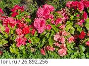Купить «Бегония клубневая (лат. Begonia tuberhybrida) на клумбе», эксклюзивное фото № 26892256, снято 9 августа 2017 г. (c) Елена Коромыслова / Фотобанк Лори