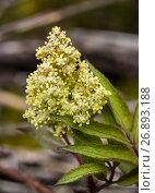 Купить «Beautiful flowering elderberry», фото № 26893188, снято 3 июня 2017 г. (c) Любовь Назарова / Фотобанк Лори
