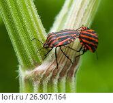 Купить «Два Красно-чёрных полосатых клопа щитник линейчатый или графозома полосатая размножаются», эксклюзивное фото № 26907164, снято 9 июня 2017 г. (c) Игорь Низов / Фотобанк Лори