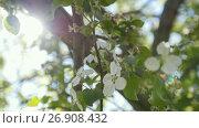 Купить «Blooming apple tree in front of summer sun», видеоролик № 26908432, снято 20 июля 2018 г. (c) Константин Шишкин / Фотобанк Лори
