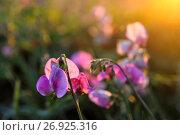 Купить «Sweet pea (Lathyrus odoratus).», фото № 26925316, снято 17 июля 2016 г. (c) age Fotostock / Фотобанк Лори