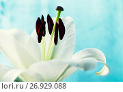 Купить «Flower of white lily, in latin Lilium Navona. Shallow DOF. Flower background with white lily flower», фото № 26929088, снято 3 сентября 2017 г. (c) Зезелина Марина / Фотобанк Лори