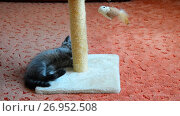 Купить «gray kitten playing with scratching post and toys. 2 months», видеоролик № 26952508, снято 7 июня 2017 г. (c) Володина Ольга / Фотобанк Лори