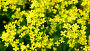 flowers of yellow rapeseed closeup, видеоролик № 26952576, снято 7 июня 2017 г. (c) Володина Ольга / Фотобанк Лори