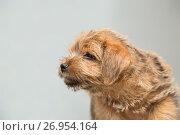 Купить «Puppy Norfolk Terrier on a gray background», фото № 26954164, снято 22 мая 2015 г. (c) Юлия Бабкина / Фотобанк Лори