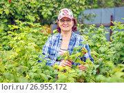Купить «Женщина собирает малину», фото № 26955172, снято 21 июля 2017 г. (c) Акиньшин Владимир / Фотобанк Лори