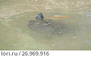 Купить «Sternotherus odoratus in lake», видеоролик № 26969916, снято 2 мая 2017 г. (c) BestPhotoStudio / Фотобанк Лори