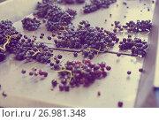 Купить «grape bunches on conveyer», фото № 26981348, снято 21 сентября 2016 г. (c) Яков Филимонов / Фотобанк Лори