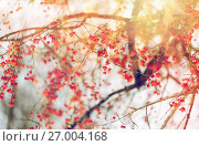 Купить «spindle or euonymus branch with fruits in winter», фото № 27004168, снято 11 ноября 2016 г. (c) Syda Productions / Фотобанк Лори