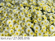 Купить «Фон из белых хризантем», эксклюзивное фото № 27005016, снято 22 сентября 2017 г. (c) Елена Коромыслова / Фотобанк Лори