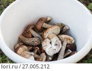Купить «Ведро с грибами», эксклюзивное фото № 27005212, снято 11 сентября 2017 г. (c) Игорь Низов / Фотобанк Лори