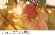 Купить «Eve Pick an Apple», видеоролик № 27009852, снято 26 сентября 2017 г. (c) Илья Шаматура / Фотобанк Лори