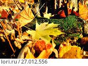 Купить «Autumn landscape. Maple autumn leaves on the tree stump», фото № 27012556, снято 20 августа 2018 г. (c) Зезелина Марина / Фотобанк Лори