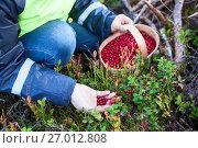 Человек собирает бруснику в лесу, крупный план руки и корзины полной ягодами. Стоковое фото, фотограф Кекяляйнен Андрей / Фотобанк Лори