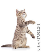 Купить «Playful cat kitten standing on its hind legs with paw up, isolated on white background», фото № 27028248, снято 24 августа 2017 г. (c) Оксана Кузьмина / Фотобанк Лори