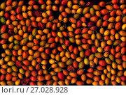 Купить «Плоды шиповника на чёрном фоне», фото № 27028928, снято 26 июня 2019 г. (c) V.Ivantsov / Фотобанк Лори
