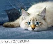 Купить «Young siberian neva masquarade colorpoint kitten», фото № 27029844, снято 11 июля 2015 г. (c) ElenArt / Фотобанк Лори