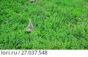Купить «Young geese escape from camera on grass», видеоролик № 27037548, снято 12 июля 2017 г. (c) Володина Ольга / Фотобанк Лори