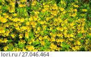 Купить «Lysimachia vulgaris swaying in the wind», видеоролик № 27046464, снято 26 июня 2017 г. (c) Володина Ольга / Фотобанк Лори