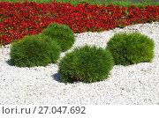 Купить «Декоративная карликовая сосна в ландшафтном дизайне», фото № 27047692, снято 31 августа 2017 г. (c) Елена Коромыслова / Фотобанк Лори