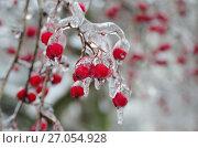 Купить «Обледенелые ветви и ягоды боярышника после ледяного дождя», эксклюзивное фото № 27054928, снято 11 ноября 2016 г. (c) Елена Коромыслова / Фотобанк Лори