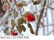 Купить «Ветка шиповника с ягодами после ледяного дождя», эксклюзивное фото № 27054932, снято 11 ноября 2016 г. (c) Елена Коромыслова / Фотобанк Лори