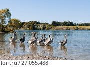 Купить «Домашние гуси в водоёме», эксклюзивное фото № 27055488, снято 25 сентября 2017 г. (c) Игорь Низов / Фотобанк Лори