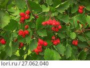 Купить «Яркие ягоды боярышника в сентябре», фото № 27062040, снято 28 сентября 2017 г. (c) Александр Романов / Фотобанк Лори