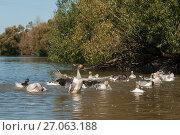 Купить «Много домашних гусей купаются в пруду», эксклюзивное фото № 27063188, снято 25 сентября 2017 г. (c) Игорь Низов / Фотобанк Лори