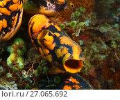Асцидия, остров Лусон, Анилао, Филиппины. Стоковое фото, фотограф Александр Огурцов / Фотобанк Лори