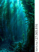 Купить «RF - View through giant kelp (Macrocystis pyrifera) forest. Santa Barbara Island, Channel Islands. Los Angeles, California, United States of America. North East Pacific Ocean.», фото № 27065816, снято 21 ноября 2017 г. (c) Nature Picture Library / Фотобанк Лори