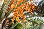 Бутия головчатая (Мармеладная пальма, Желейная пальма) на улице Адлера (Сочи), эксклюзивное фото № 27067216, снято 10 сентября 2017 г. (c) Александр Щепин / Фотобанк Лори