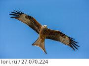 Купить «Red Kite (Milvus milvus) hunting, Wales, UK, May.», фото № 27070224, снято 24 сентября 2018 г. (c) Nature Picture Library / Фотобанк Лори