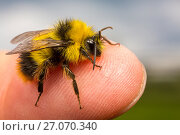 Купить «Early bumblebee (Bombus pratorum), newly emerged male with characteristic yellow collar and lack of stinger. Standing on human finger, Monmouthshire, Wales, UK. May.», фото № 27070340, снято 17 июля 2018 г. (c) Nature Picture Library / Фотобанк Лори