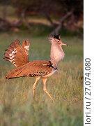 Купить «Kori bustard (Ardeotis kori) male courtship display, Kgalagadi Transfrontier Park, Northern Cape, South Africa.», фото № 27074080, снято 12 июля 2020 г. (c) Nature Picture Library / Фотобанк Лори