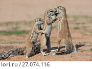 Купить «Young ground squirrels (Xerus inauris), Kgalagadi Transfrontier Park, Northern Cape, South Africa, January.», фото № 27074116, снято 25 мая 2020 г. (c) Nature Picture Library / Фотобанк Лори