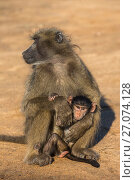 Купить «Chacma baboon (Papio ursinus) with young, Kruger National Park, South Africa, May.», фото № 27074128, снято 24 апреля 2019 г. (c) Nature Picture Library / Фотобанк Лори