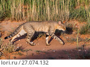 Купить «African wildcat (Felis silvestris lybica), Kgalagadi Transfrontier Park, Northern Cape, South Africa.», фото № 27074132, снято 31 марта 2020 г. (c) Nature Picture Library / Фотобанк Лори