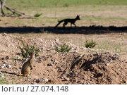 Купить «Meerkat (Suricata suricatta) watching Cape fox (Vulpes chama) Kgalagadi Transfrontier Park, Northern Cape, South Africa, January.», фото № 27074148, снято 18 апреля 2019 г. (c) Nature Picture Library / Фотобанк Лори