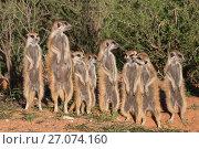 Купить «Meerkats (Suricata suricatta) basking at den, Kgalagadi Transfrontier Park, Northern Cape, South Africa, January.», фото № 27074160, снято 12 июля 2020 г. (c) Nature Picture Library / Фотобанк Лори